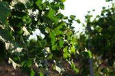 Grape plantation — Stock Photo