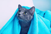 Cat with blue blanket — Stock Photo