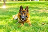 Dog at park — Stock Photo