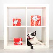 Bulldog with presents — Stock Photo