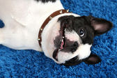 French bulldog on carpet — Stock Photo