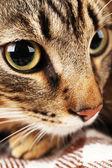 Grey cat's muzzle closeup — Stock Photo