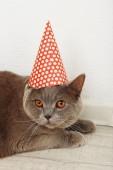 British Short hair cat in room — Stok fotoğraf