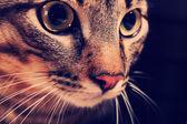 Cat's muzzle closeup — Foto de Stock