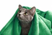 Cat with green blanket on light background — Стоковое фото