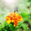 Orange french marigolds (Tagetes patula) with butterfly — Stock Photo #53950009