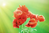 Poppy flowers, outdoors — Stock Photo