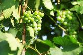 Bunches of ripe grape on plantation closeup — Stock Photo