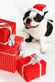 Franse bulldog met kerstmuts en geschenken op sofa in kamer — Stockfoto