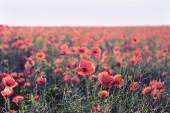 Poppy flowers outdoors — Stock Photo