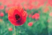 ケシの花アウトドア — ストック写真