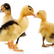 Little cute ducklings — Stock Photo #54732731