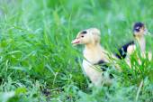 Little cute ducklings on green grass, outdoors — Stock Photo