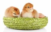 Little cute chickens and egg shell — Stock Photo