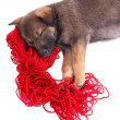 Puppy sleeping on a hank of red yarn isolated on white — Stock Photo #54836037