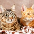 Two cats on blanket on brown wall background — Stock Photo #54839631