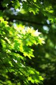 Beautiful green leaves on tree outdoors — Stock Photo