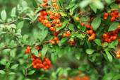 Ashberry with leafs, close-up — Stock Photo