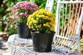 Yellow and lilac flowers in pots on white wicker chairs in garden — Foto de Stock