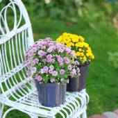 Yellow and lilac flowers in pots on wicker chair on garden background — Stock Photo