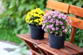 Yellow and lilac flowers in pots on wooden chairs on green garden background — Stock Photo