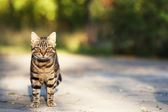 Cat walking outdoors — Stock Photo