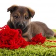 Puppy playing  with hank of red yarn — Stock Photo #56046651