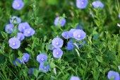 Bellissimi fiori in giardino, primo piano — Foto Stock