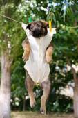Puppy dressed in clothes and hung on the rope — Stock Photo