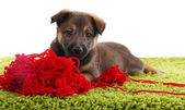 Puppy playing  with hank of red yarn — Stock Photo