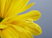 Water drop on yellow flower — Stock Photo