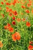 All'aperto fiori papavero — Foto Stock