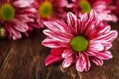 Purple chrysanthemum on wooden background — Stock Photo
