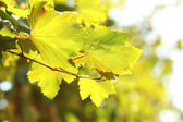 Grape leaves and sun beams — Stock Photo
