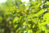 Druva blad och solen strålar — Stockfoto