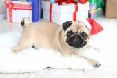 Funny, cute and playful pug — Stock Photo