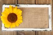 Beautiful sunflower on frame — ストック写真