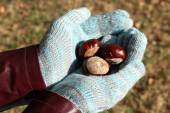 Hands in gloves holding chestnuts — Stock Photo