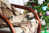 Pug dog on rocking chair — Foto de Stock