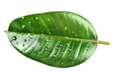 Ficus or rubber plant — Stock Photo