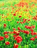 Hermosas flores de amapola — Foto de Stock