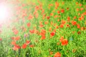 红罂粟花朵 — 图库照片