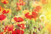 Meadow with poppy flowers — Stock Photo