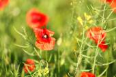 Meadow with poppy flowers — Stock Photo