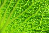 Zelený zelný list — Stock fotografie