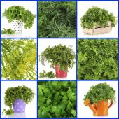 Fresh parsley collage — Stock Photo