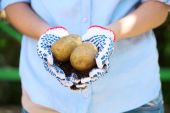Potatoes in hands close-up — Stock Photo