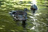 Ducks swimming in water — Stock Photo