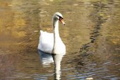 White swan on lake — Stock Photo
