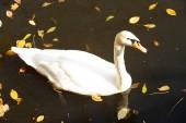 White swan on lake — Stok fotoğraf